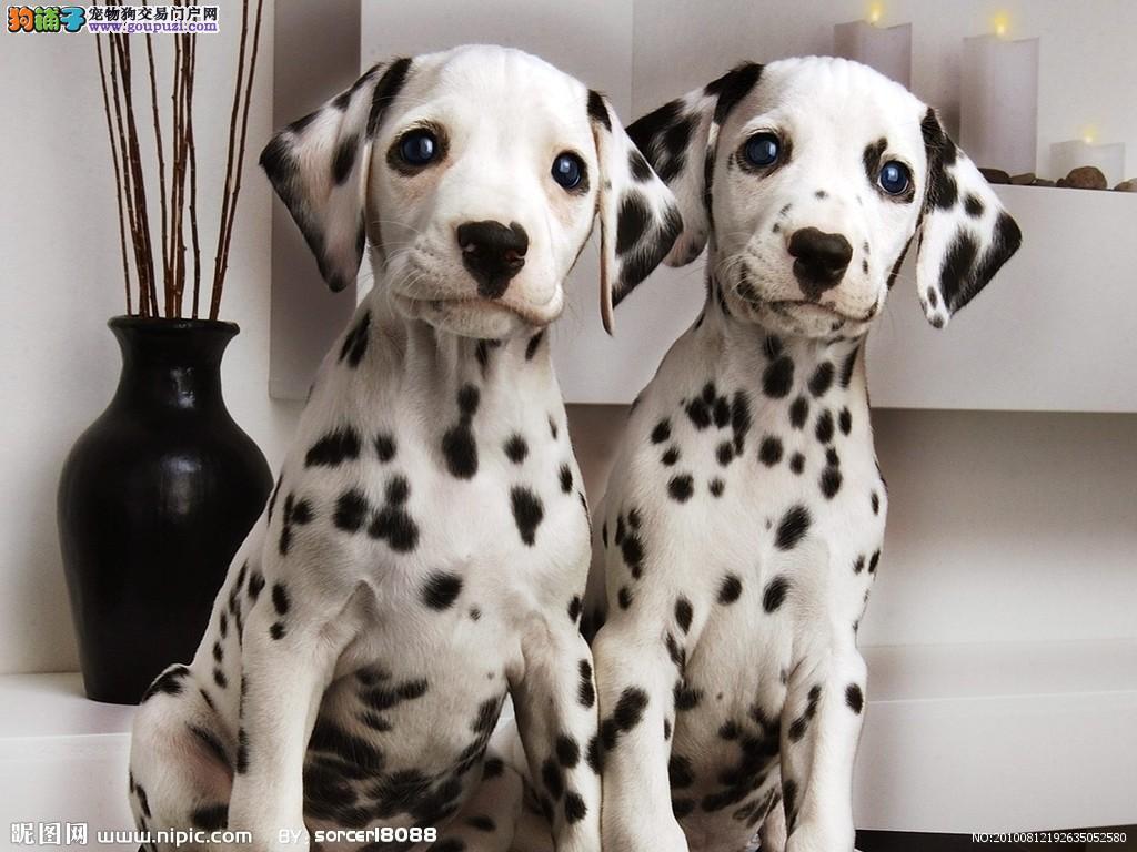 自家犬舍繁殖纯种健康的大麦町斑点幼犬出售