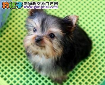 约克夏宝宝出售中、低价热销保健康、微信咨询看狗
