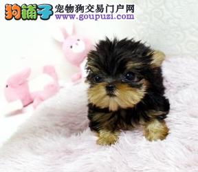 实体店低价促销赛级约克夏幼犬质量三包多窝可选