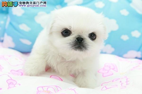 贵族纯正京巴、纯度好100%健康、微信咨询看狗