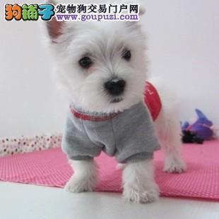 纯种高品质西高地白梗幼犬 活泼可爱