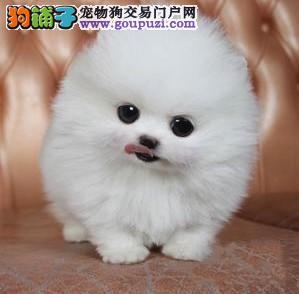 韩国血统 球体哈多利博美犬 健康质量保证 毛量足