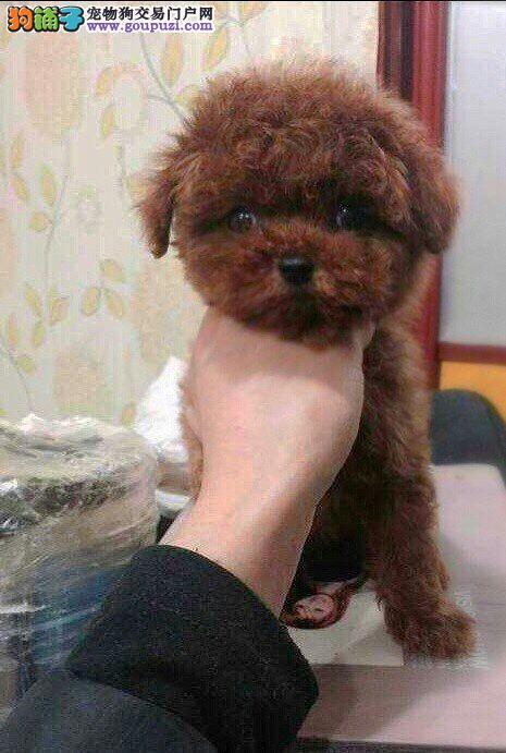 韩系家养精品泰迪熊犬 成年肩高:16厘米 信誉 质量