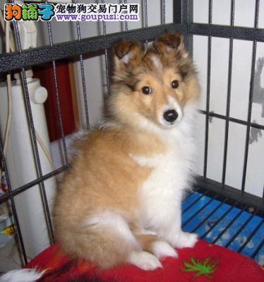 出售三色苏格兰牧羊犬 卡卡名犬 期待您的选择 好品质