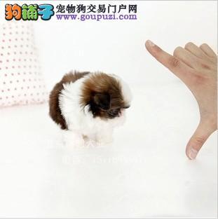 出售西施犬 纯种保证 毛色好 毛量足 玩伴犬 最好选择