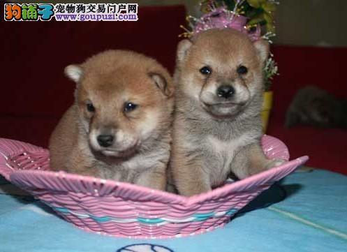 卡卡名犬 出售一窝正宗日系柴犬 品质好 血统好 高质量