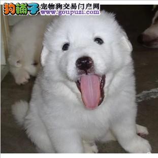 南京人的犬舍 极品大白熊 高质量 高品质 说话爽气
