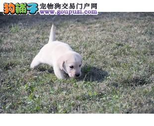 出售导盲犬拉布拉多 性情最好 骨骼款 大头 高品质
