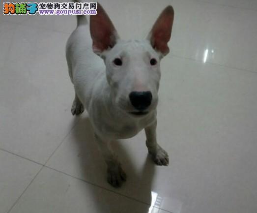 赛级牛头梗幼犬,可见父母,质保三年,可送货上门