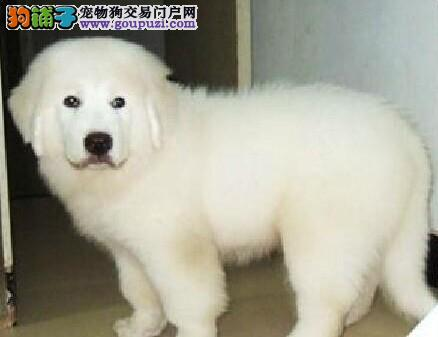 新疆哈密哪里有狗市场大白熊犬多少钱一只