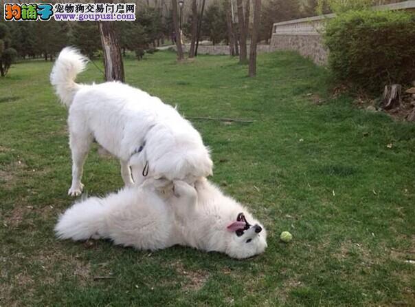 黑龙江大白熊犬价格多少钱 黑龙江大白熊犬买卖