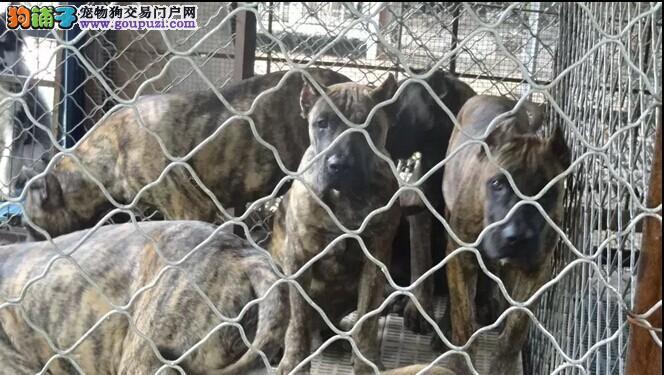 成都加纳利犬 成都加纳利犬价格/多少钱