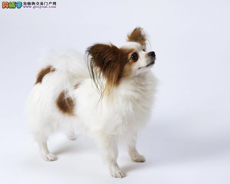 呼和浩特大型犬舍低价热卖极品蝴蝶犬喜欢来电咨询
