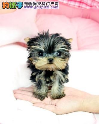 广州哪里有狗卖 纯种约克夏出售 小型犬约克夏多少钱