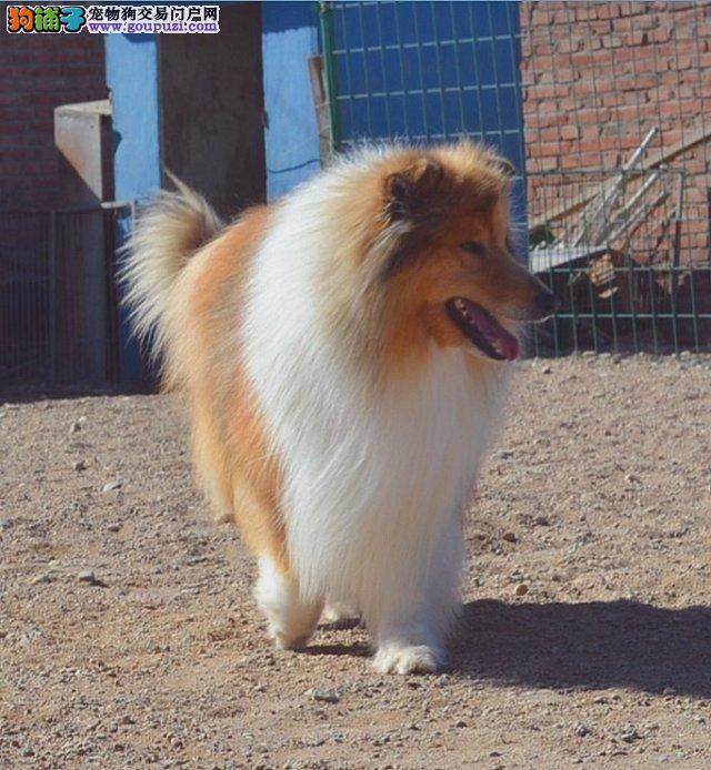 广州苏格兰牧羊犬 广州纯种苏格兰牧羊犬价格