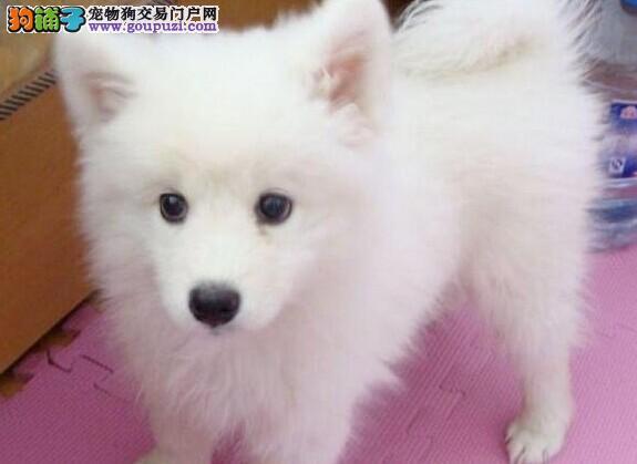 FCI认证犬业纯血统繁殖基地赛级银狐健康质保 终生服务