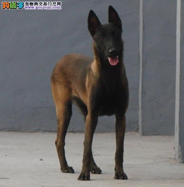 CKU犬舍认证出售纯种马犬一宠一证视频挑选