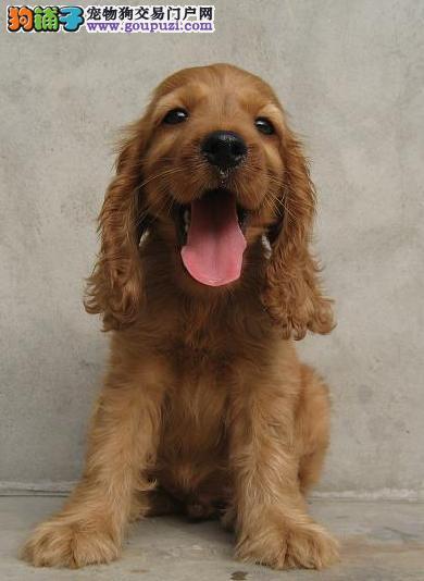 极品赛季可卡幼犬, 健康保证 血统证明