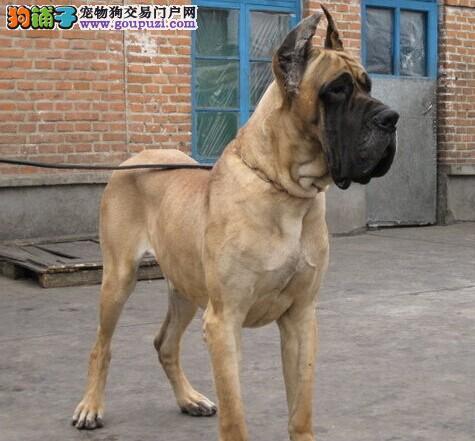 CKU犬舍认证长沙出售纯种大丹犬终身完善售后服务