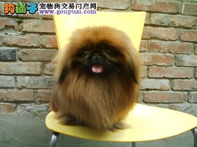 深圳狗场繁殖京巴犬幼犬出售啦--快来选购吧!