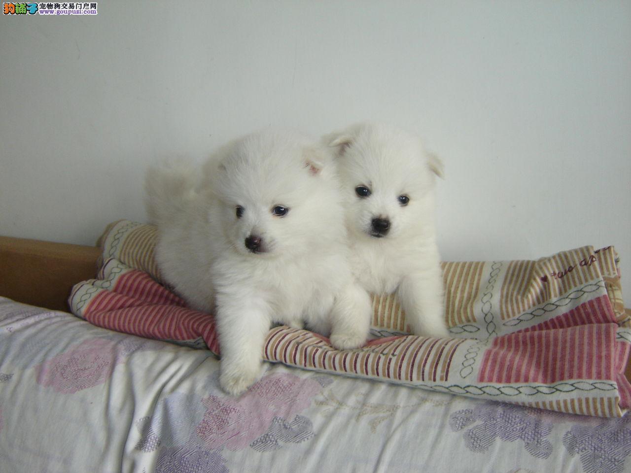 纯种雪地精灵白色银狐极品狗狗出售