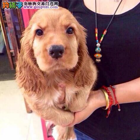 南京出售纯种可卡幼犬 健康保证 信誉保证