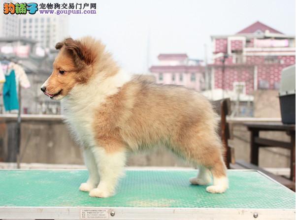 广州正规狗场繁殖纯种喜乐蒂犬