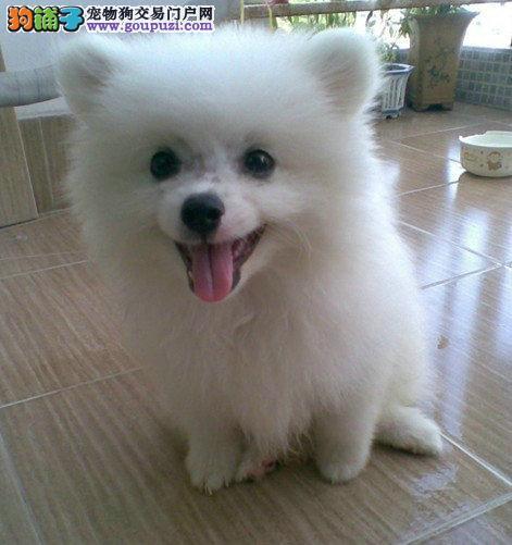 纯正赛级银狐幼犬 CKU认证 信誉第一 售后保障