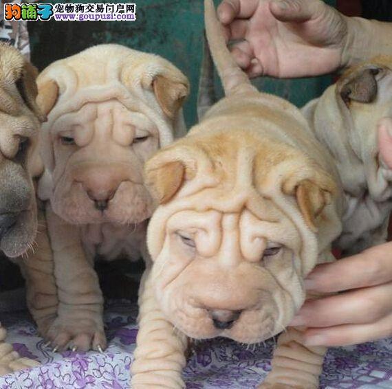 直销沙皮狗幼犬、公母均有颜色齐全、讲诚信信誉好