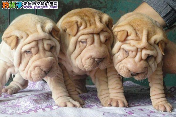 完美品相血统纯正长沙沙皮狗出售微信咨询视频看狗