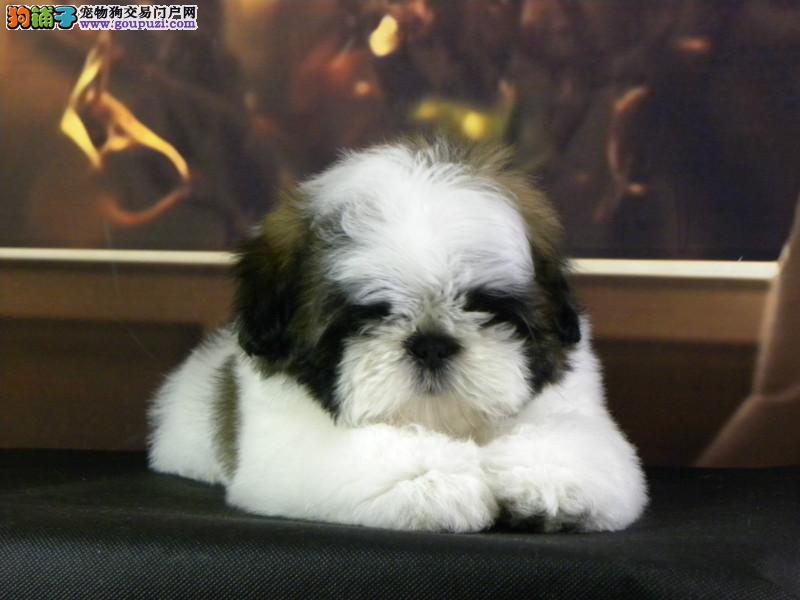 CKU犬舍认证重庆出售纯种西施犬喜欢来电咨询