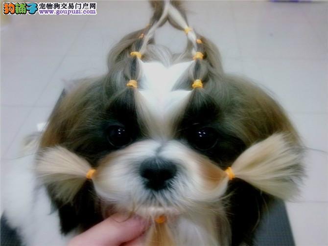 徐州最大犬舍出售多种颜色西施犬赛级品质保障