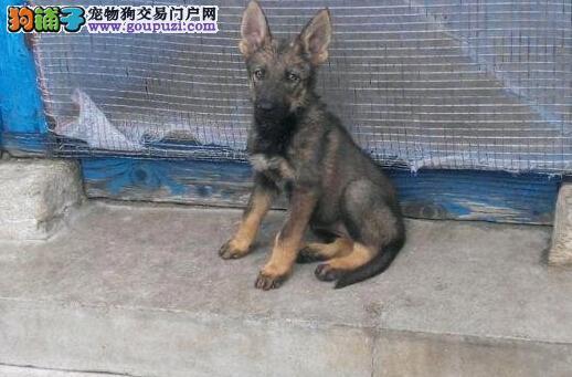 本地狗场常年出售纯种昆明犬幼犬 包纯种健康