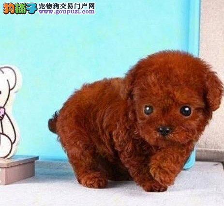 重庆哪里可以买到好的茶杯犬 重庆茶杯犬价格多少