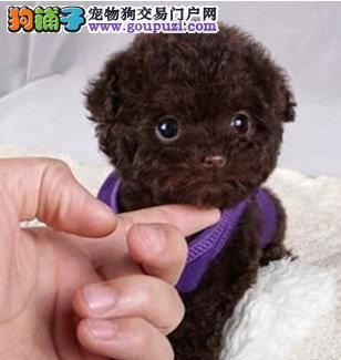 长春成华区哪里有卖茶杯犬的 茶杯犬多少钱一只
