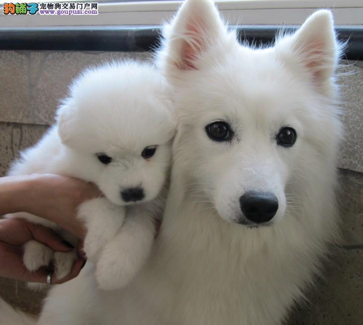尖嘴银狐幼犬,家养纯种日本银狐出售,欢迎上门选购买