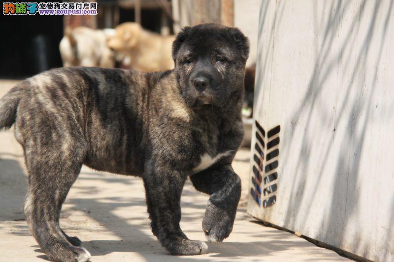 CKU犬舍认证杭州出售纯种中亚牧羊犬狗贩子请勿扰