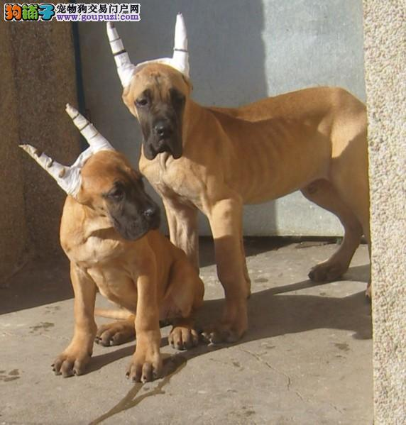 大丹犬找新家,可看狗狗父母照片,绝对信誉保证