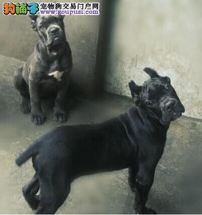 苏州哪里有卖健康卡斯罗犬苏州哪里有出售卡斯罗狗狗
