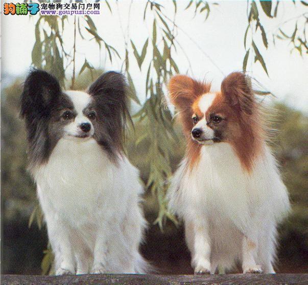 蝴蝶犬正规狗场繁殖 可签订购犬合同 品质健康有保障