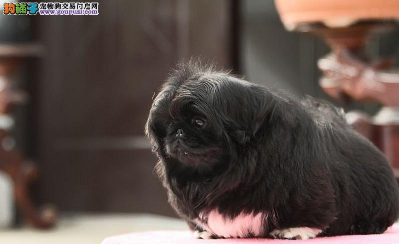 山西哪里有京巴犬卖 山西京巴犬多少钱 山西宠物狗狗