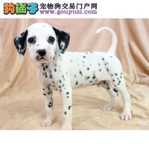 纯种斑点狗出售、专业繁殖包质量、当天付款包邮