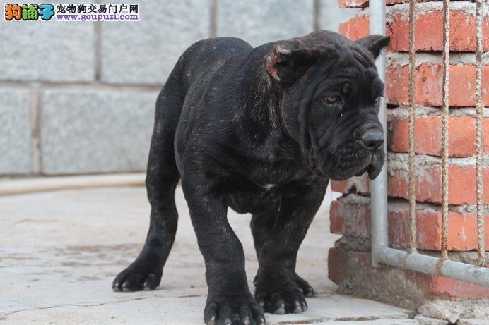 正规狗场,卡斯罗犬,保纯种,保健康,签协议