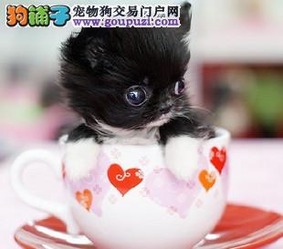 喜欢茶杯犬的朋友 留意我呦 品质众多任君选购