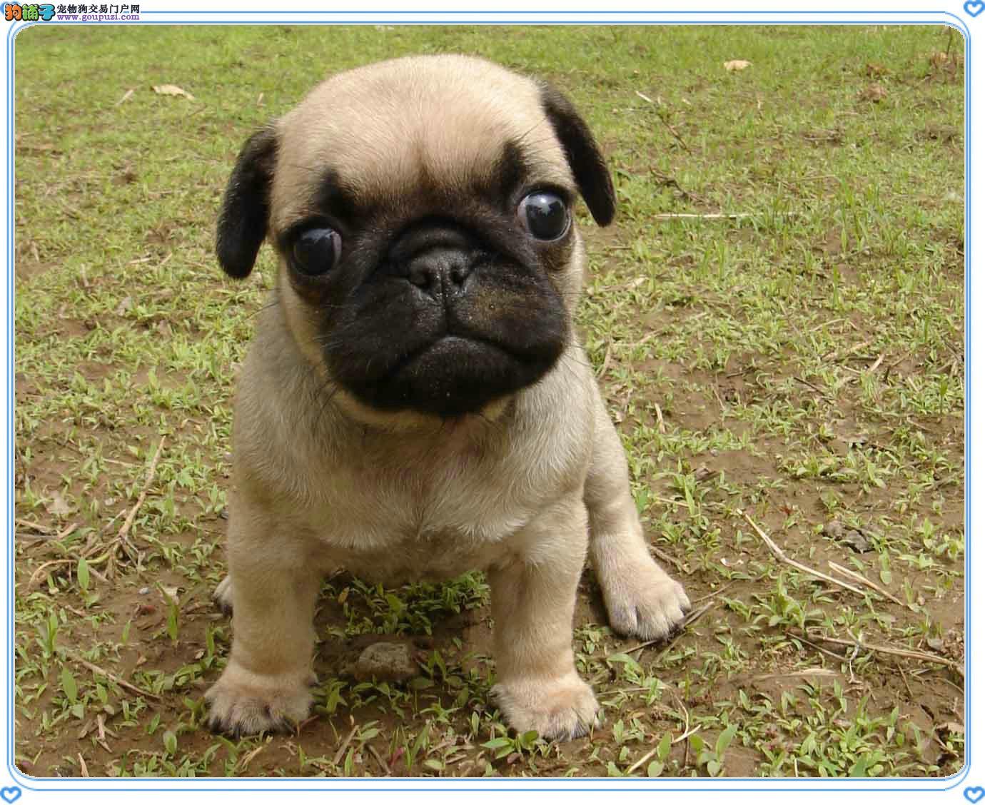 低价出售巴哥小幼犬??保健纯种 可上门选购