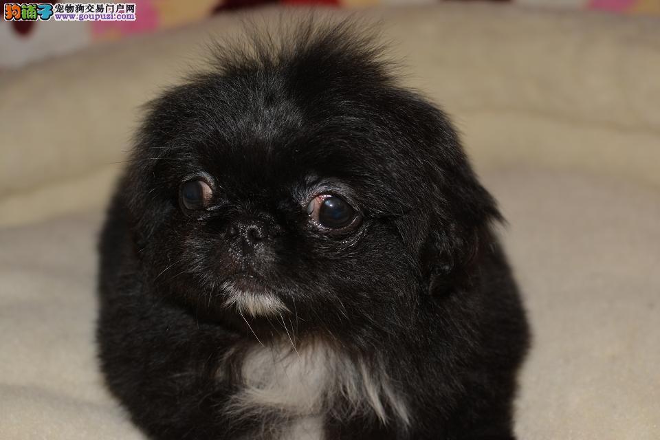 CKU高品质赛级京巴幼犬终身保障可来场选狗质保三年