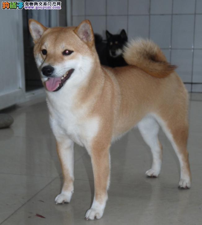 国外引进纯柴犬 专业繁殖宝宝健康 购犬可签协议