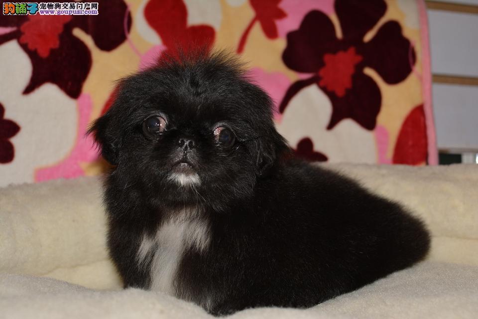 自家的一窝京巴犬可爱健康友善很听话善解人意的宝宝
