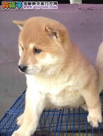 赛级品相遵义柴犬幼犬低价出售狗贩子请勿扰