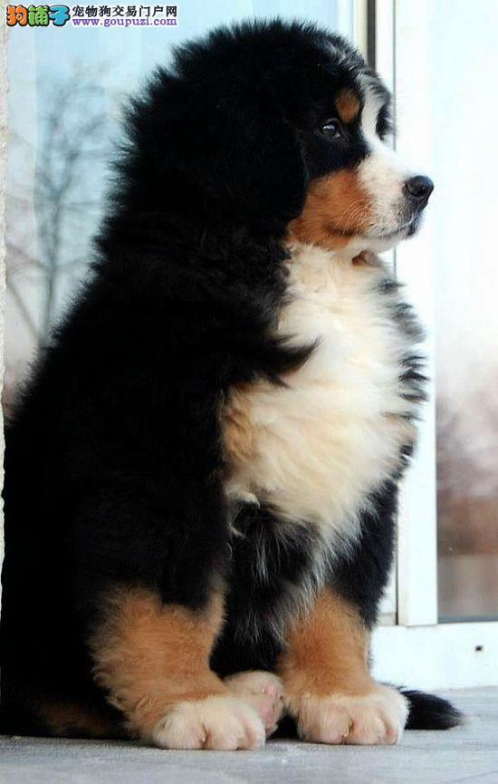 CKU认证犬舍  伯恩山犬  签协议保健康